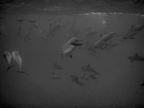 dolphins_big_group_hawaii_lanai